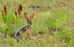 White-tailed jackrabbit Stock Images