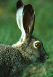 White-tailed Jackrabbit Portrait. Close up side portrait of the face and ears of a cute white-tailed jackrabbit Royalty Free Stock Images