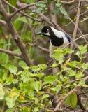 White-tailed Jay bird close-up Royalty Free Stock Photos