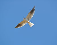White Tailed Kite Stock Photography