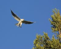White tailed Kite_36130 Stock Images