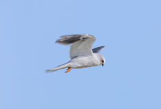 White-tailed Kite - Elanus leucurus, Adult. Royalty Free Stock Photography