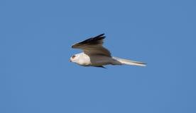 White-tailed Kite - Elanus leucurus, Adult. Hayward, California, USA Stock Photo