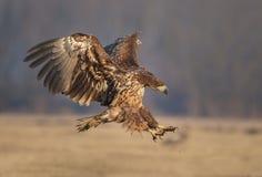 White-tailed landing Royalty Free Stock Image