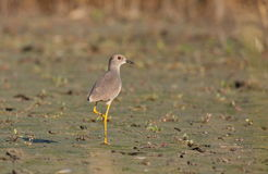 White-tailed Lapwing Royalty Free Stock Photo
