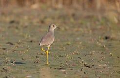 White-tailed Lapwing. (Vanellus leucurus) standing on wet land Royalty Free Stock Photo