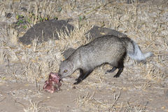 White-tailed Mongoose eating a bait. Stock Images
