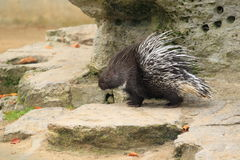 White-tailed porcupine Royalty Free Stock Photography
