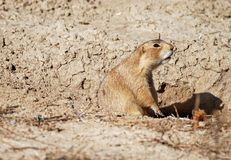 White Tailed Prairie Dog Barking Stock Photography