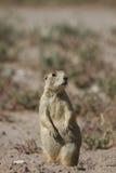 White-tailed Prairie Dog, Cynomys Leucurus Royalty Free Stock Photo