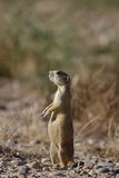 White-tailed Prairie Dog, Cynomys leucurus Royalty Free Stock Photo