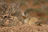 White-tailed Prairie Dog Looking About Stock Photos
