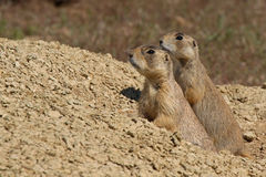 White-tailed Prairie Dog Parent And Pup Royalty Free Stock Photos