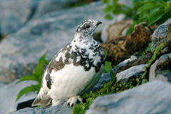 White-tailed Ptarmigan Royalty Free Stock Photo