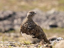 White tailed ptarmigan. Front view of a white tailed ptarmigan Royalty Free Stock Images