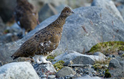White-tailed Ptarmigan Stock Photo