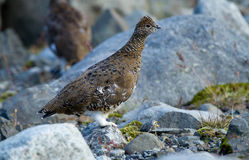 White-tailed Ptarmigan Royalty Free Stock Photos