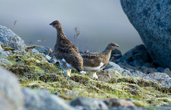 White-tailed Ptarmigan Royalty Free Stock Image