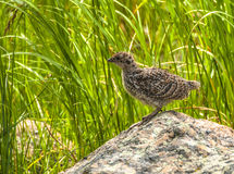White Tailed Ptarmigan Chick Royalty Free Stock Photos