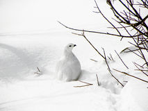 White-tailed Ptarmigan. Portrait of white tailed ptarmigan on snow under bush in winter Royalty Free Stock Photos