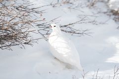 A White-tailed Ptarmigan Male Eating from a Bush on a Snowy Mountain Meadow royalty free stock image