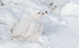 White-tailed Ptarmigan in Winter Plumage stock photo