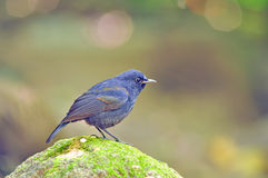 White - Tailed Robin Bird Royalty Free Stock Images