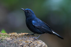 White-tailed robin (Cinclidium leucurum) on the rock Royalty Free Stock Images