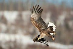 White-Tailed Sea Eagle Royalty Free Stock Photos