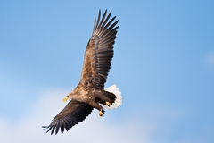 White-Tailed Sea Eagle Stock Image