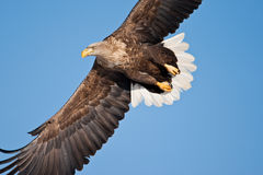 White-Tailed Sea Eagle Royalty Free Stock Photos