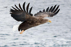 White-Tailed Sea Eagle Stock Photography