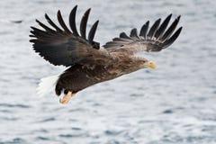 White-Tailed Sea Eagle Stock Photography
