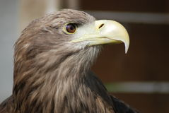 White tailed sea eagle Stock Photo