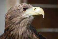 White tailed sea eagle. A headshot of a white tailed sea eagle stock photo