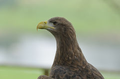 White-tailed Sea Eagle Stock Photos