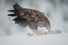 White-tailed Sea Eagle Royalty Free Stock Image