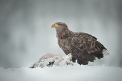 White-tailed Sea Eagle Royalty Free Stock Images