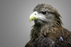 White Tailed Sea Eagle Royalty Free Stock Photos