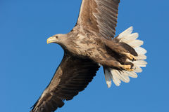 White-tailed Sea Eagle Stock Images