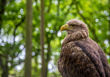 White-tailed Sea-eagle Royalty Free Stock Photography