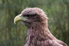 White Tailed Sea Eagle Royalty Free Stock Photo