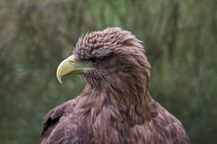 White Tailed Sea Eagle Royalty Free Stock Images