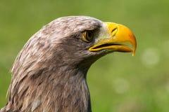 White tailed sea eagle Stock Photography