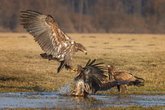 White-tailed sea eagle coming in to land Royalty Free Stock Image