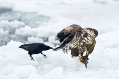 White tailed Sea eagle with Crow Stock Photos