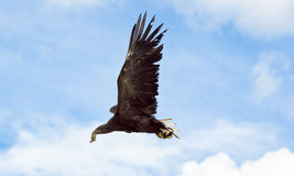 White tailed sea eagle in flight Stock Photos