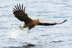 White-tailed Sea Eagle in flight Stock Photo