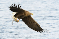 White-tailed Sea Eagle in flight Stock Photography