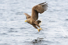 White-tailed Sea Eagle in flight Royalty Free Stock Photography
